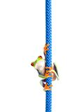 Frog On A Rope Isolated White Stock Photography