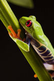 Frog On Branch Stock Photo