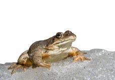 Frog On Ice 4 Stock Image