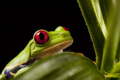 Frog On Lear Royalty Free Stock Photo