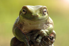 Frog. The frog is one of the amphibious animal that is favored some people stock photo