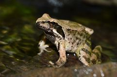 Frog. One frog in the river Royalty Free Stock Images