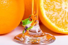 Frog and Orange Juice. A red eyed tree frog on the stem of a glass of fresh squeezed orange juice Royalty Free Stock Photos