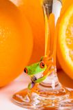 Frog and Orange Juice. A red eyed tree frog on the stem of a glass of fresh squeezed orange juice Stock Image