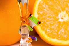 Frog and Oranges. A colorful Red Eyed Tree Frog sitting on the stem of a glass of Orange Juice in front of fresh Oranges Royalty Free Stock Photos