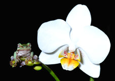 Frog on an orchid Stock Photo
