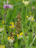 Frog Orchid royalty free stock photography