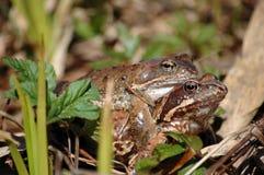 Frog pairing Royalty Free Stock Photo
