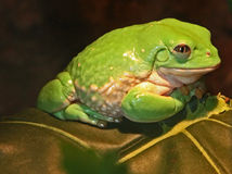 Frog. Pale Green Frog Close Up Sitting On Dark Green Leaf Royalty Free Stock Photography