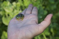 Frog on the palm stock photography