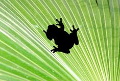Frog on palm leaf Royalty Free Stock Photography