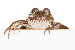 Frog with panel for text Stock Photo