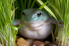 Frog peeking through grass Stock Photos