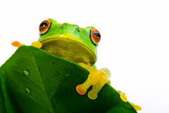 Frog peeking out from behind the leaf Stock Photos