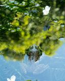 Frog peeking out of reflective pond surface royalty free stock image