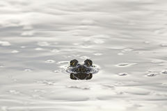 Frog peeking out from under the shiny water. Frog peeking out from under the shiny mirror-like water stock photography