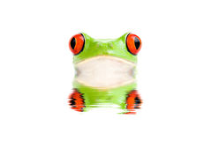 Frog peeking out of water isolated Royalty Free Stock Photos