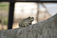 Frog (Pelobates fuscus) Stock Photo