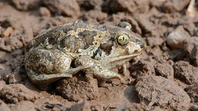 Frog Pelobates fuscus on ground after rain Stock Image