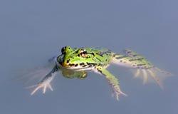Frog - Pelophylax esculentus Stock Photos