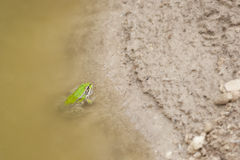 Frog pelophylax perezi. Common frog in a pond looking at the camera Stock Photos