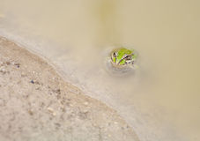 Frog pelophylax perezi. Common frog in a pond looking at the camera Royalty Free Stock Photos