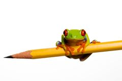 Frog on a pencil. A Red Eyed Tree Frog sitting on a pencil Royalty Free Stock Photos