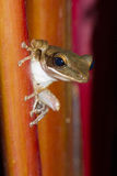 Frog perched on a tree. Royalty Free Stock Photo