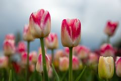 Frog perspectieve red and white tulips facing a cloudy sky stock photos