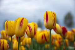 Frog perspectieve red and white tulips facing a cloudy sky royalty free stock photos