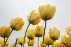 Frog perspectieve from yellow tulips facing a cloudy sky royalty free stock photography