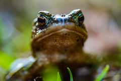 Frog perspective of a green frog. Frog perspective of a little green frog Royalty Free Stock Photography