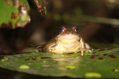 Frog. Photo of a garden frog taken on a lily pad on the pond in the garden. Amphibian. Water Stock Photography