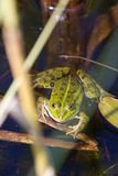 Frog. This photo shows a green frog inside a pond Stock Photos