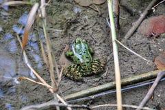 Frog Stock Image