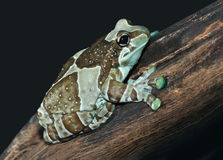 Frog Phrynohyas resinifictris Royalty Free Stock Photos