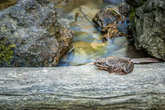 Frog on the phylum Royalty Free Stock Photos