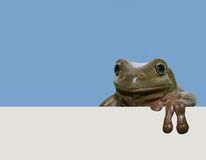 Frog with placard. Tree frog with empty placard Stock Photos