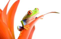 Frog on a plant Royalty Free Stock Image