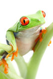 Frog on plant isolated Stock Photo