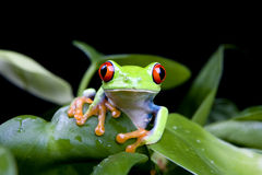 Frog in plant isolated on black. Frog in a plant isolated on solid black - a red-eyed tree frog (Agalychnis Callidryas Stock Image