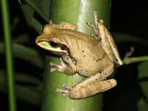 Frog on a plant in the wild (Smilisca phaeota) Royalty Free Stock Images