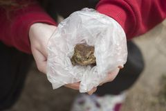 Frog in plastic bag. Hands holding frog in plastic bag royalty free stock photo