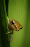Frog playing hide and seek Stock Photos