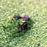 Frog Poking Head Through Duckweed. Frog poking his head through duckweed, seen at a local pond, with selective focus Stock Photos