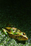 Frog in pond Stock Image