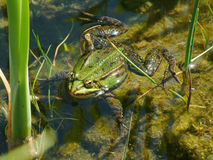 Frog in a pond. Green frog in a pond Royalty Free Stock Photography