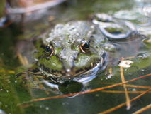 Frog in pond. Closeup of green frog partially submerged in pond Stock Image