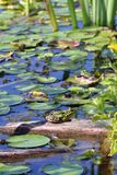 Frog in the pond Royalty Free Stock Photos
