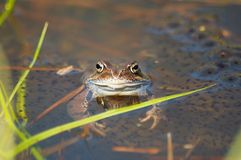 Frog in a pond Royalty Free Stock Photography